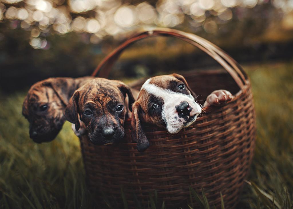 El ciclo estral de la perra, ¿qué sabes sobre él?