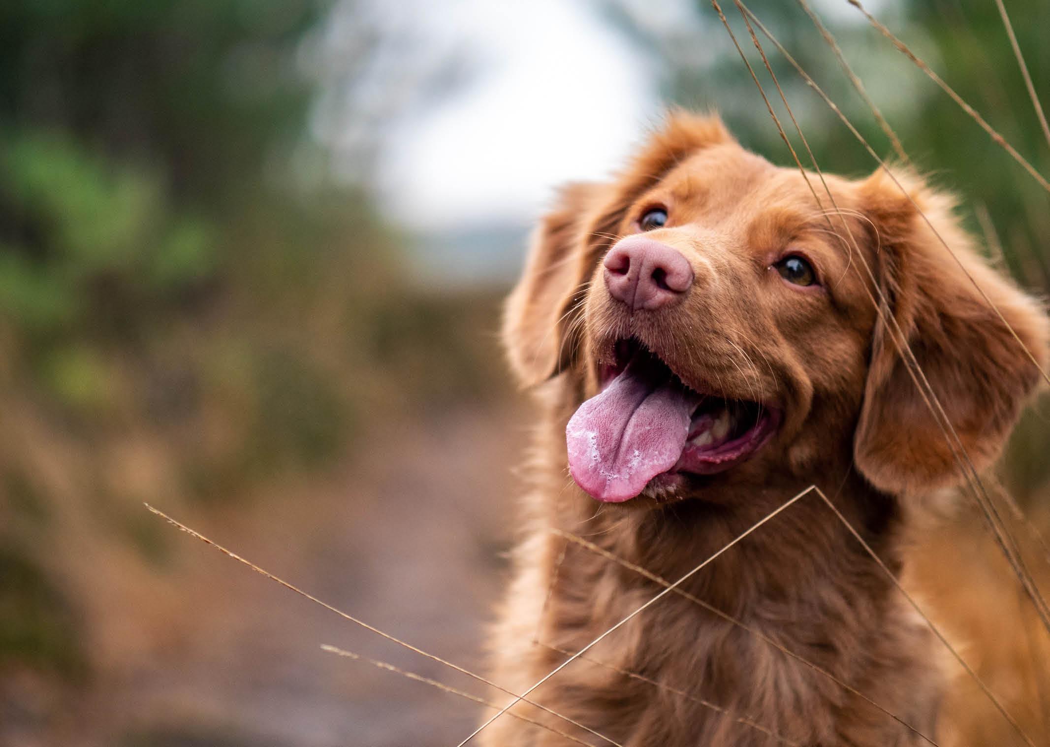"""Otohematoma canino, más allá de un """"bulto"""" en la oreja"""