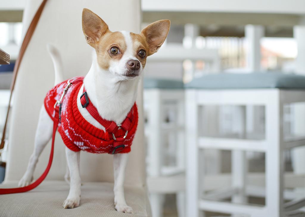 El colapso traqueal en perros, ¿cómo podemos detectarlo?