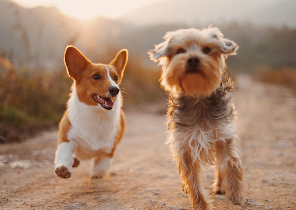 Las tenias de perros y gatos, ¿qué sabes sobre estos parásitos intestinales?