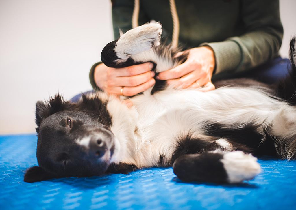 El masaje en animales de compañía y sus beneficios