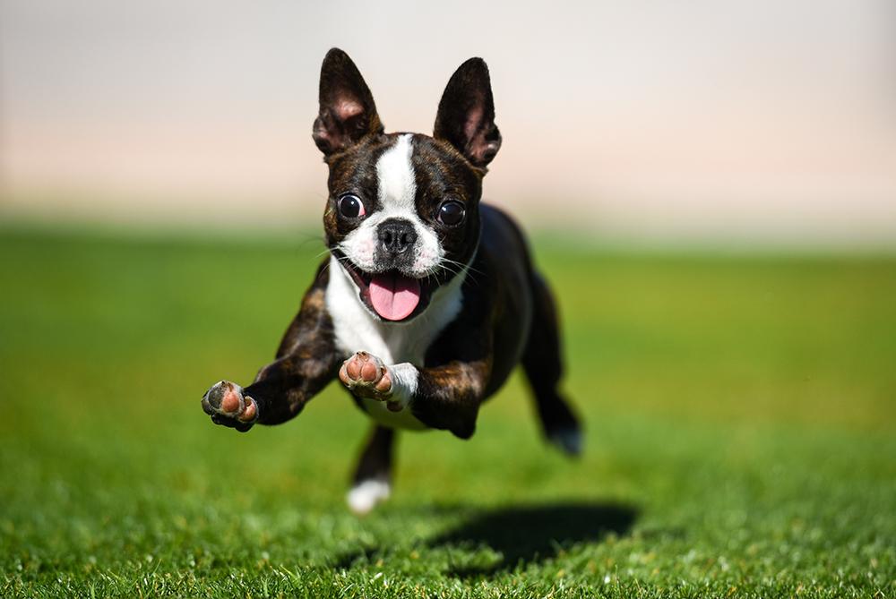 Luxación de rótula en perros, ¿qué debemos saber?