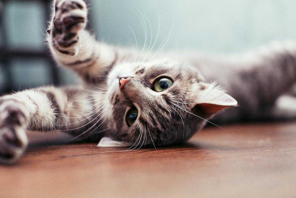 ¿Por qué los gatos huelen algo y abren la boca? ¿Conoces el reflejo de Flehmen?