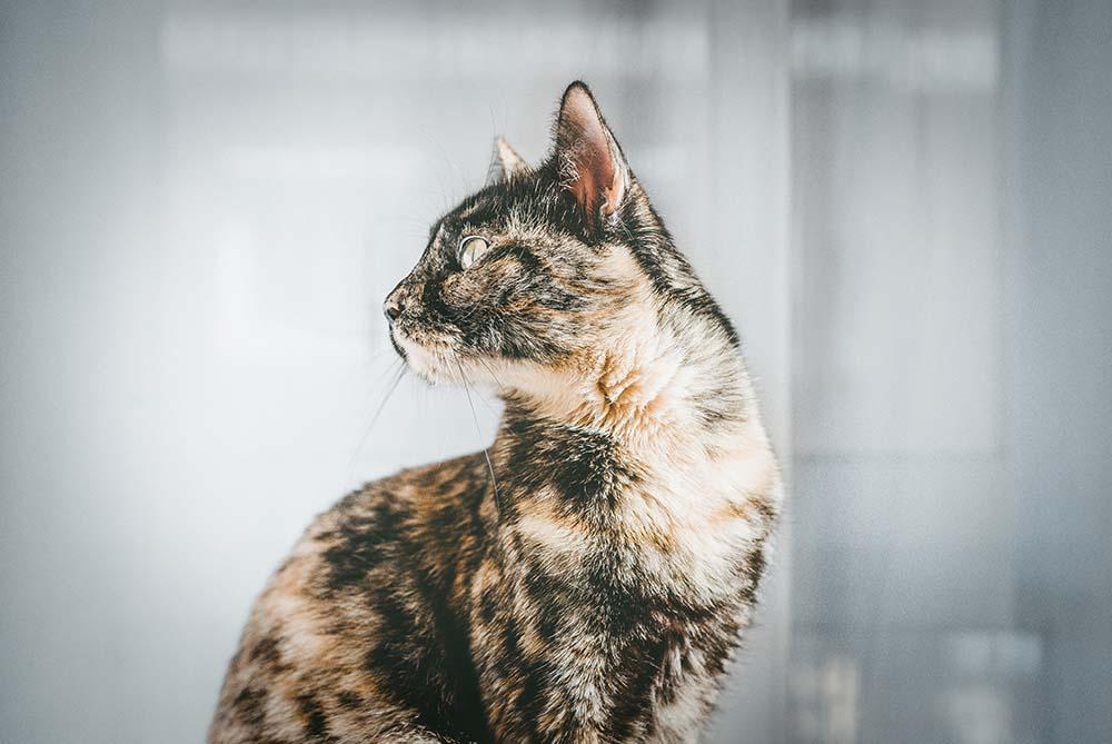 Gatos carey y tricolor, ¿qué tienen de especiales? Descubre su leyenda